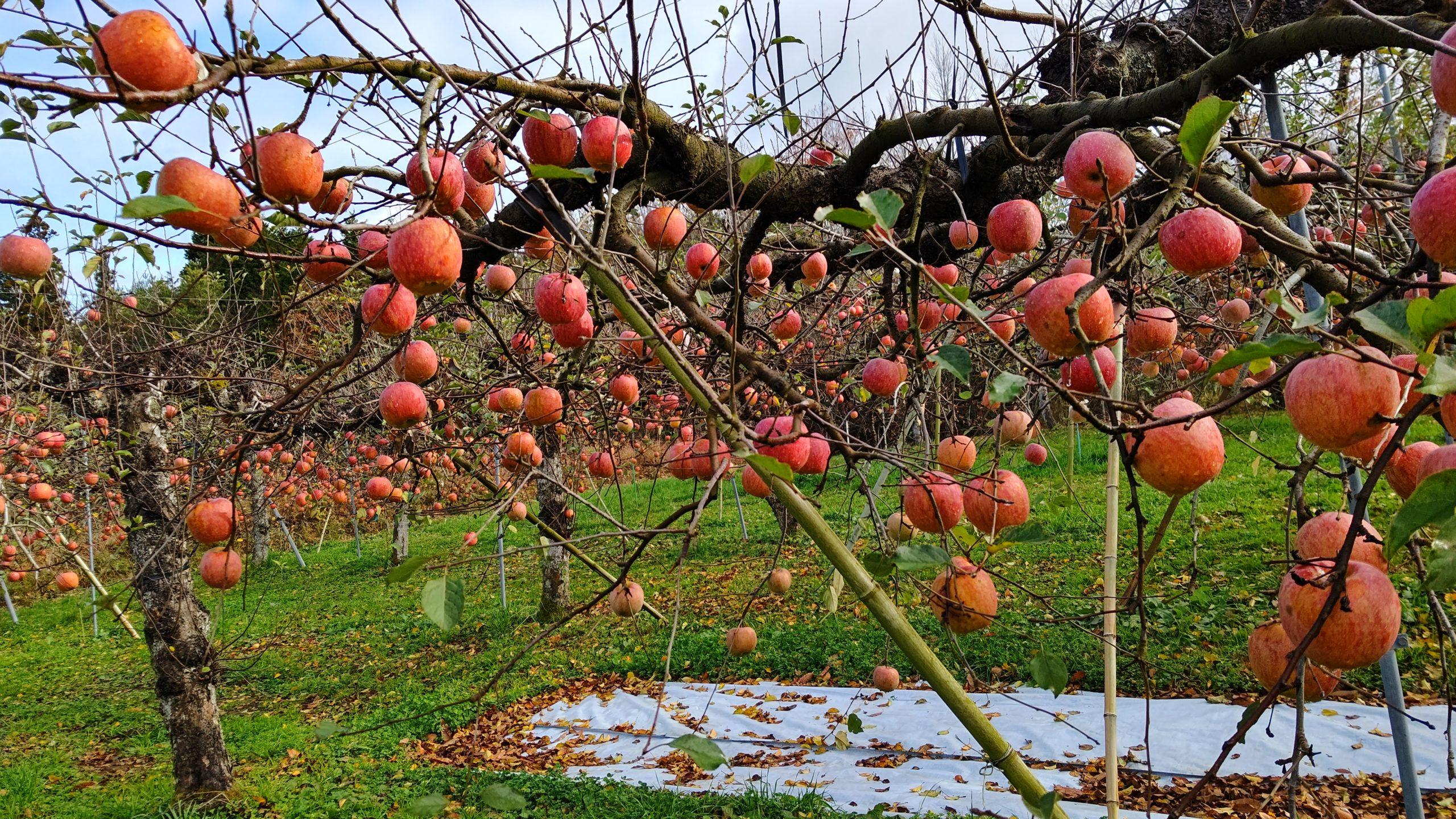 小石川りんご農園(りんごたくさん)